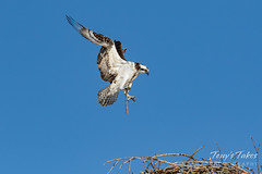 Osprey returns from Home Depot sequence - 10 of 27