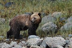Curiosity_DSC_7786Mar 30 20168-38 PM (Stormpeak_1) Tags: bear canada nature nikon britishcolumbia wildlife wilderness grizzlybear greatbearrainforest knightinlet nikon80400mm glendalecove ursushorribilis nikond7200