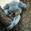 hangover ...  ;-) (ewaldmario) Tags: cute smile zoo furry nikon hangover koala cuddly tele paws relaxed fell claws tier d800 koalabear kuschelig weich fuer phascolarctoscinereus beuteltier sympatic greey tireed ewaldmario zooviennna