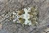 2170-P1070922 Varied Coronet (Hadena compta) (ajmatthehiddenhouse) Tags: moth 2015 uk kent stmargaretsatcliffe garden hadeninae noctuidae variedcoronet hadenacompta hadena compta