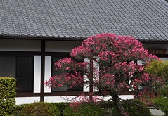 Ume Blossoms, Unryu-in Temple, Kyoto (kyoshiok) Tags: flower japan kyoto umeblossoms unryuintemple