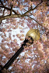 2016 03 26 - 1056 - DC - Cherry Blossoms (thisisbossi) Tags: flowers trees usa southwest washingtondc dc unitedstates streetlights lanterns sakura sw cherryblossoms lamps floweringtrees hainspoint