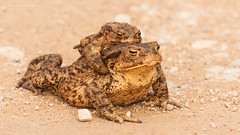Frogs (igors brezinskis) Tags: nature canon frog 450d 55250