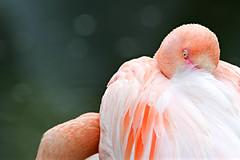 Flamant rose (olivier.ghettem) Tags: bird birds zoo pinkflamingo oiseau oiseaux volière flamantrose zoodevincennes flamantsroses parczoologiquedeparis zoodeparis