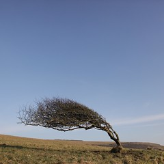 Windswept (matthewmarschner) Tags: tree southdowns windblown sculpted cuckmerehaven