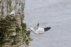 Swan dive (ToriAndrewsPhotography) Tags: male rock photography andrews pair yorkshire cliffs tori gannet bempton