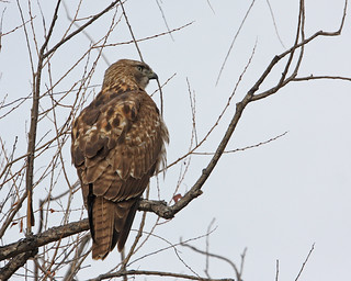 Red Tailed Hawk 9513