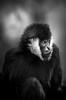 Northern white-cheeked gibbon (mellting) Tags: bw monochrome animal mammal zoo nikon flickr sweden ape sverige primate eskilstuna platser gibbon whitecheekedgibbon parkenzoo 500px hylobatesleucogenys djurparker bloggad northernwhitecheekedgibbon nikond7000 vitkindadgibbon mellting instagram matsellting sigma1506005063sport