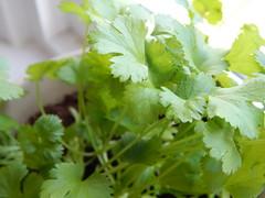 Corriander (monyet_uk) Tags: herbs windowsill