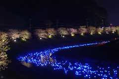 20160305-DSC_2285.jpg (d3_plus) Tags: street sea sky plant flower nature japan spring nikon scenery nightshot cloudy bloom  cherryblossom  sakura lightup nightview 28105mmf3545d nikkor    shizuoka    izu   28105   rapeblossom    28105mm  zoomlense  minamiizu    kawazuzakura    28105mmf3545 d700 281053545  nikond700 shimokamo aiafzoomnikkor28105mmf3545d nightcherryblossom 28105mmf3545af    southcherryblossomandrapeblossomfestival aiafnikkor28105mmf3545d shootingstarsandsakurainnight sakurainnight