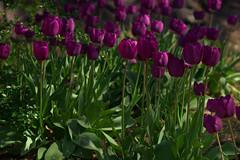 _DSC3395 (Simply Angle) Tags: flowers plant flower washington spring spokane tulip washingtonstate riverfrontpark spokanewa canonfd a7ii canonlens sonyphotographing sonyphotography canonfd100mmf4macro lilioideae sonya7ii ilce7m2