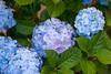 IMG_3708 (Alessandro Grussu) Tags: flowers plant flower macro 20d canon pflanze blumen hydrangea fiori blume fiore pianta ortensia hortensien