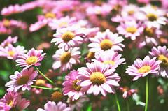 pink daisies (maurizio siani) Tags: city pink flowers italy flower primavera daisies italia colore estate pentax rosa natura campo fiori fiore petali dolcezza margherita citt margherite 2016 semplicit naturale tenerezza k30 margheritina fragilit
