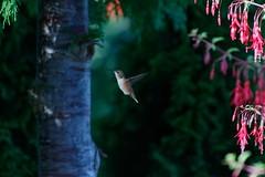 On the wing 1 (bichane) Tags: canada flying hummingbird bc britishcolumbia flight vancouverisland tofino hovering