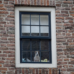 My windows aren't dirty, that's my dog's nose art (Peter Jaspers) Tags: dog window reflections square olympus curious zuiko deventer overijssel omd nosy 2016 500x500 em10 bergkwartier 45mm18 frompeterj