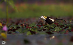 pheasant tailed jacana (S.M. Ali Javed) Tags: pakistan wild bird nature beautiful beauty flickr pheasant vibrant wildlife birding ali tailed shah javed natgeo jacana wildbirds wildlifereserve