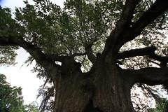 Canon206501 (godrudy6661) Tags: neworleans audubonpark treeoflife oaktrees