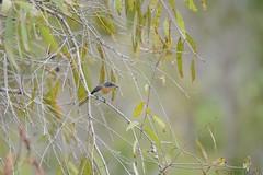 Leaden Flycatcher (Myiagra rubecula) (shaneblackfnq) Tags: bird north australia queensland tropical cairns far tropics flycatcher leaden fnq rubecula myiagra shaneblack