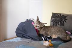 (Katarina Drezga) Tags: cats pets animals cat kitten kittens felines domesticcat petphotography nikkor50mm18g nikond3100