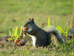 Florida Gray Squiirrel  enjoying some Queen Palm fruit. (Jim Mullhaupt) Tags: pictures camera wallpaper orange nature fruit landscape photography photo nikon squirrel flickr florida outdoor background wildlife snapshot picture seed p900 coolpix bradenton queenpalm floridagraysquirrel nikoncoolpixp900 coolpixp900 nikonp900 jimmullhaupt