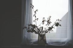 (CarolienCadoni..) Tags: flowers light stilllife window photography still blossom 50mmf14 sal50f14 sonyslta99