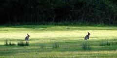 Bunny Rabbits in the Evening Sunshine (Snowdrop500) Tags: bunnies wales spring rabbits powys bunnyrabbits llanymynech
