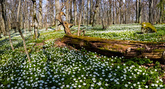 Parnassen, Hjlstaviken, April 30, 2016 (Ulf Bodin) Tags: nature landscape se spring sweden outdoor sverige scandinavia vr anemonenemorosa vitsippa uppland ekolsund hjlstaviken uppsalaln parnassen canoneosm3 canonefm11224556isstm