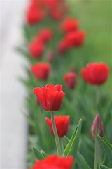 IMG_7785 (Five eyes) Tags: flowers flower holland color nature beauty garden spring dof tulips beds michigan fresh neighborhood beginning tuliptime promise lanes 2016