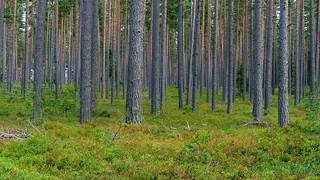 Pine forest with bilberry floor (Kaunissaari, Pyhtää, 20150731)