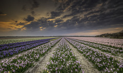 Dutch field (hetty m) Tags: sunset clouds spring hyacint bollenveld bulbflower