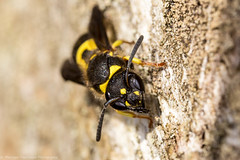 Ancistrocerus Nigricornis portrait (Tubs McHam) Tags: macro nature canon insect dof mpe65 potterwasp mr14ex canon6d ancistrocerusnigricornis matthewpaullewis tubsmcham