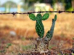 Hello, I'm Cactus. Nice meeting you! (dksesh) Tags: cactus fence bangalore panasonic g6 karnataka seshadri sesh bengaluru harita dhanakoti haritasya seshfamily dmcg6 panasonicg6 panasonicdmcg6 manmathasamvatsara
