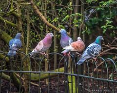 Pigeon Council (James Neeley) Tags: london birds wildlife pigeons hydepark jamesneeley