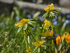 Winterlinge (p h o t o . w o r l d s) Tags: nature spring bokeh natur frühling springcolors winterlinge frühlingsfarben photoworlds sigmadp2m