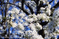 Susino a nozze (lefotodiannae) Tags: di fiori susino lefotodiannae