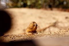 IMG_9296 (TvdMost) Tags: prairiedog prairiehond wildlands cynomys prariehondje wildlandsemmen