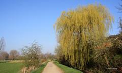 7-IMG_9867 (hemingwayfoto) Tags: baum weg frhling trauerweide regionhannover leinemasch