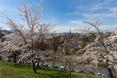 spring in bern (tinfrey) Tags: blue white tree green canon cherry switzerland blossom april cherryblossom bern rosengarten 6d someiyoshino 2016 ef1740mmf4lusm