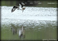 Another fish story.... (Garry's lens....) Tags: summer fish nature beautiful pond colorful raptor trout osprey fishinig picmonkey