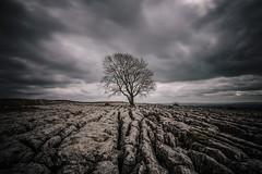 Malham Lone Tree (Neil Nicklin Photography) Tags: cloud weather yorkshire dales lonetree malham yorkshiredales limestonepavement thedales limestonetree malhamlonetree