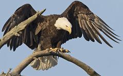 Pre Dusk Landing (zarb67) Tags: ohio canon springfield eagles raptors birdsofprey americanbaldeagle birdinflight 1dx pinelakeeagles firestonefarms 600mmf4lisii14xiii
