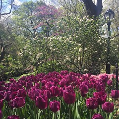 #Tulips in #CentralPark today  (Cait_Stewart) Tags: park nyc newyorkcity pink flowers trees plants usa newyork lamp garden square petals spring purple tulips centralpark grow wanderlust ues lamppost squareformat bloom springflowers uppereastside nofilter purpleflowers iphone purpletulips visitnyc nofilterneeded iphoneography instagramapp