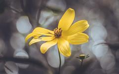Backlight Sparkle (crashmattb) Tags: lake flower macro nature december dof bokeh petal lightroom macrophotography 2015 extensiontubes bokehlicious beyondbokeh canon70d canonefs55250f456isstm optekaautofocusdgexmacroextensiontubes