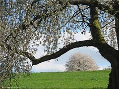Bltentrume - flowery dreams (2) (Jorbasa) Tags: flower tree germany deutschland spring hessen blossom branches meadow wiese bltter geotag baum cherrytree frhling zweige blten kirschbaum wetterau blofeld apfelblten bltentrume reichelsheim jorbasa
