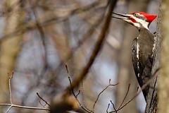 """Woody Woodpecker"" (Jan Nagalski) Tags: red blur nature spring woodpecker dof michigan wildlife large depthoffield bud loud impressive pileatedwoodpecker stonycreekmetropark treebuds backgroundblur canonef100400mm canon60d redcrest jannagal largestwoodpecker jannagalski"