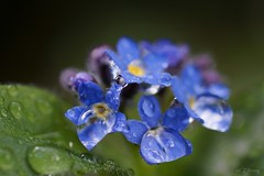 Vergissmeinnicht  / forget-me-not (7) (Ellenore56) Tags: blue light inspiration plant flower color colour detail macro reflection nature water rain garden botanical licht perception drops spring flora wasser blossom magic natur pflanze perspective drop h2o rainy bloom april droplet imagination pearl forgetmenot moment blau waterdrops blume makro blte farbe reflexion garten regen raindrop perle springtime perspektive lenz reflektion wassertropfen tropfen frhling augenblick vergissmeinnicht florescence botanik myosotis regentropfen mnnertreu trpfchen faszination  waterpearl sichtweise pflanzenwelt wasserperle scorpiongrass museohr ellenore56 sonyslta77 myosote augedesgeliebten 29042016