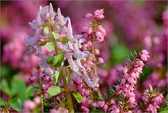 Erica & Corydalis (tehhyvredina) Tags: flowers macro garden spring bokeh moscow erica botanicgarden corydalis     canonef100mmf28usmmacro ericatetralix corydalissolida  apothecarygarden    fujifilmxe1