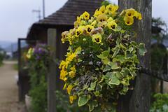 _DSC2070 (Osamu1965) Tags: flower japan zeiss garden spring sony contax jp   okayama     a7m2  carlzeissvariosonnart2870mmf3545mm