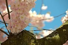 Soft spring (Francesca Rafanelli) Tags: park travel pink sky sun flower tree green primavera colors canon copenhagen garden denmark tivoli reflex spring soft rosa fiori albero canoneos1100d