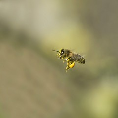 miam (jean-marie teyssier) Tags: en nature vol bourgogne abeille proxy nevers nievre